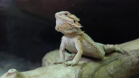 Australian dragon lizard Footage