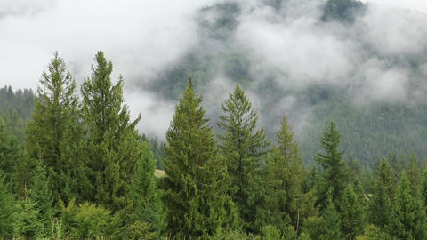 Mist among coniferous trees Footage