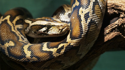 burmese python close up Footage