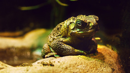 cane toad Footage