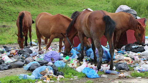 Horses eating household refuse at dump Footage