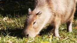 capybara grazing Footage