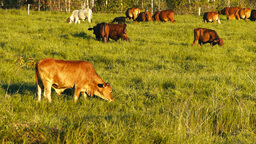 cattle in field Footage