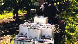 cherries on trailer Footage