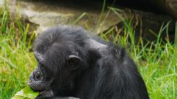 chimpanzee Footage