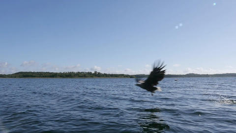 Slow Motion Of A Sea Eagle Trying To Catch A Fish stock footage