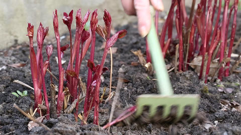 Woman digs up soil near young red plants Footage