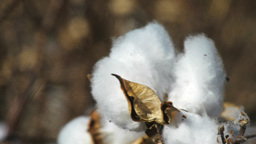 cotton boll close up Footage