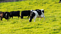 dairy cows grazing Footage