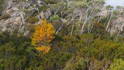 Deciduous Beech Tree stock footage