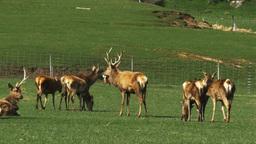 Nz Deer Farm stock footage