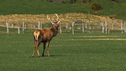 stag on deer farm Footage
