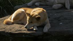 australian dingo on rock Footage
