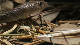 eastern brown snake close up Footage