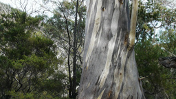 eucalyptus tree Footage