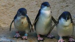 fairy penguins Footage