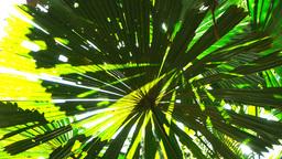 fan palm leaves Footage