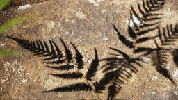 fern leaf shadow Footage