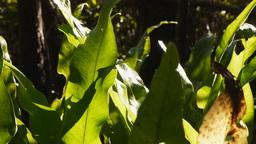 birdsnest fern leaves Footage