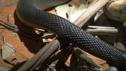 fierce snake crawling Footage