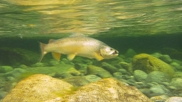 brown trout underwater Live Action