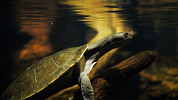 freshwater turtle Live Action