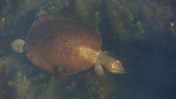 freshwater turtle Footage