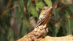 frilled lizard close up Footage