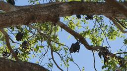 Fruit Bat Colony stock footage