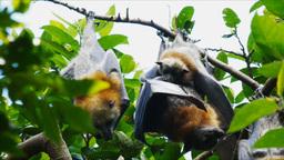 baby fruit bat Footage