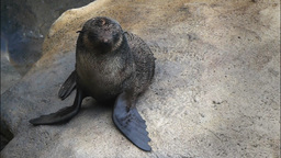 fur seal Live Action