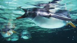 gentoo penguin swimming Footage