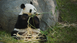 giant panda sitting Live Action