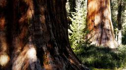 giant sequoia trees Live Action