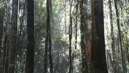 eucalyptus forest Footage