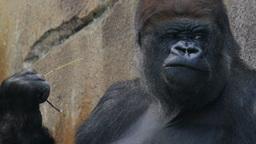 gorilla Live Action