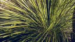 grass tree Footage