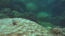 small reef fish on coral head Footage