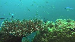 acopora coral and reef fish Footage