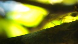 Green Tree Ants stock footage