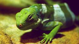 fiji banded iguana Footage