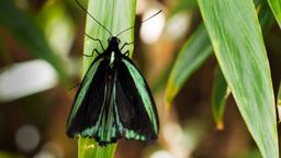 green butterfly Footage