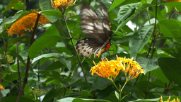 female green birdwing butterfly feeding Footage
