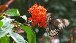 green birdwing butterfly Footage