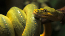 Green Tree Python Head stock footage