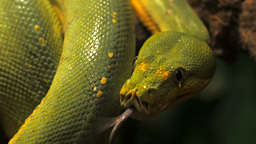 green tree python in a tree Footage