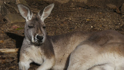 grey kangaroo Live Action