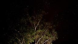 gum tree and stars Footage