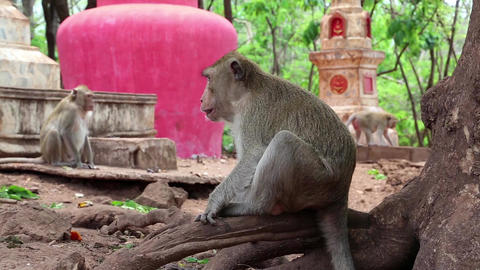 Rhesus macaque sits on roots of tree Footage
