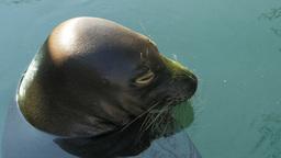 hawaiian monk seal Footage